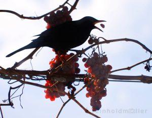 Amseln, Vögel