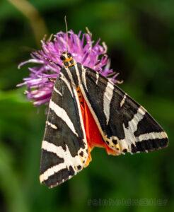 Falter, Insekten, Schmetterlinge