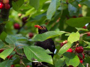 Kirschbaum, Natur, Vögel, WikiCommons