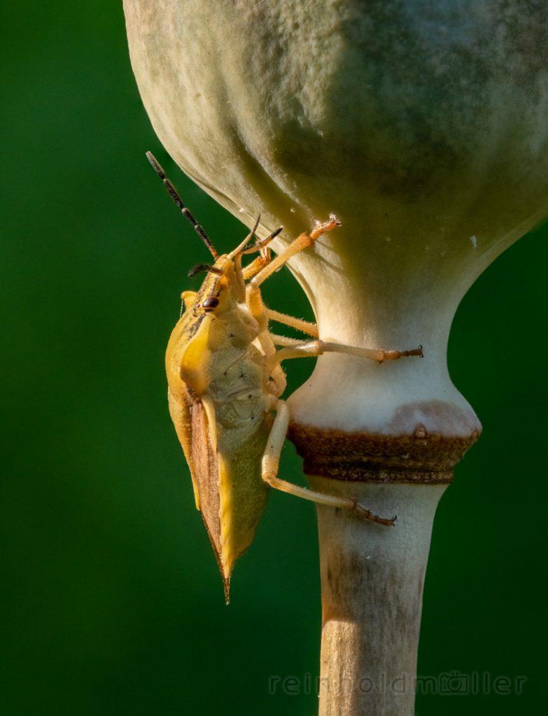 Insekten, Stacking, Wanzen