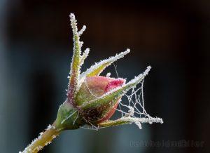 Blumen, Frost, Rosen, Stacking, rosa Rosen