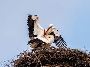 Störche, Vögel