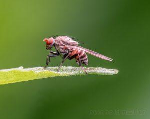 Fliegen, Insekten, Stacking